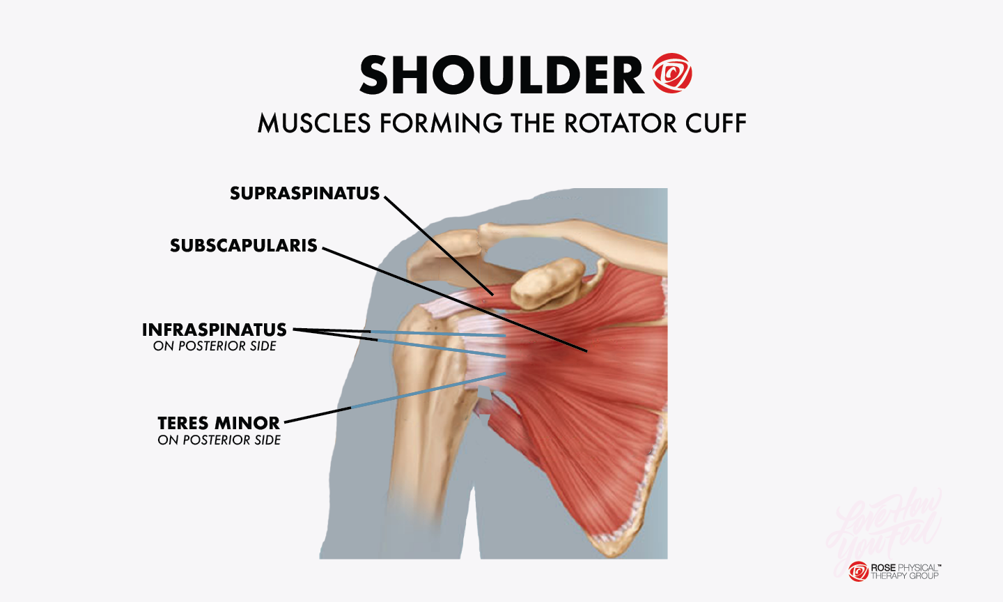 shoulder muscles rotator cuff